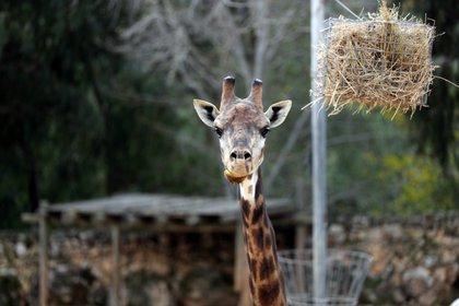 Las poblaciones se han reducido drásticamente en el siglo pasado a alrededor de 117.000 jirafas salvajes (REUTERS/Ammar Awad)