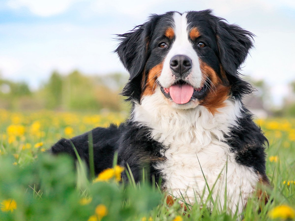 Boyero de Berna : características de un perro inteligente, mimoso y  elegante - Infobae