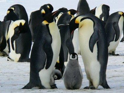 Miles de pingüinos y focas -según advirtieron científicos- ya no podrán  alimentarse correctamente (Europa Press)