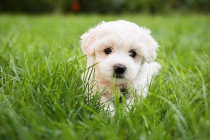 El bichón maltés es una raza de perro de tamaño pequeño o mediano que surgió en el Mediterráneo central, siendo Italia quien tomó el patrocinio