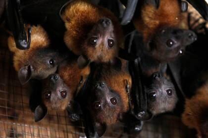 La OMS insiste en que el nuevo coronavirus se originó en murciélagos salvajes, que lo habrían esparcido luego a un animal que entonces lo transmitió al hombre (REUTERS/Sukree Sukplang)