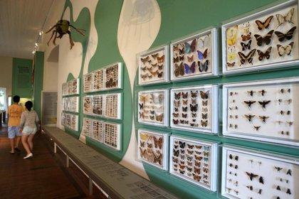 La colección de mariposas del museo