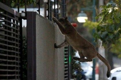 Foto de archivo. Un puma sube un muro en un vecindario de Santiago de Chile. 24 de marzo de 2020. REUTERS/Andres Pina ATENCIÓN EDITORES -  NO DISPONIBLE PARA REVENTA NI ARCHIVO. NO USAR EN CHILE