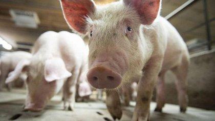 Una nueva gripe porcina que amenaza con convertirse en pandemia (AFP)