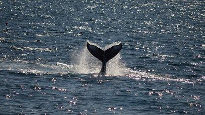 Cómo es la experiencia de la migración de ballenas en San Diego (Shutterstock.com)