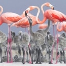 pink flamingos feeding their young at a nesting area in RÌo Lagartos, Mexic.