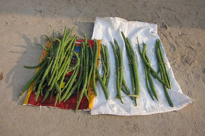 Las vainas de moringa se venden en los mercados de la India, Nepal, Pakistán, muchos países de África y Filipinas.(Wikipedia)