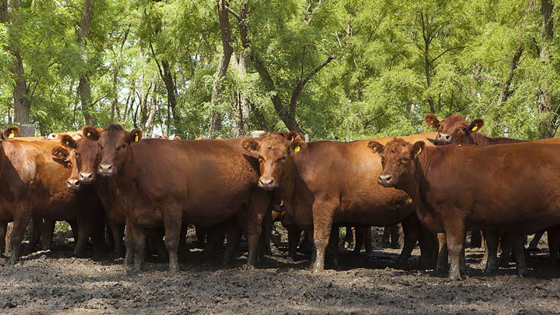 Desde el Movimiento Compromiso Federal destacaron el repunte de precios que se registró en la ganadería en 2020