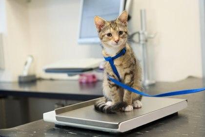 EL sobrepeso se puede detectar en las visitas de rutina al veterinario, estas deben ser habituales ya que en base al peso actual de las mascotas se va a determinar la cantidad de comida que se les deba dar (Getty Images)