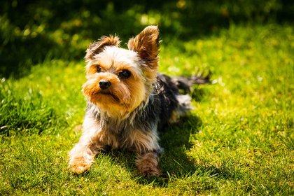 El Yorkshire terrier es una raza canina producto de la combinación de terrier escoceses e ingleses