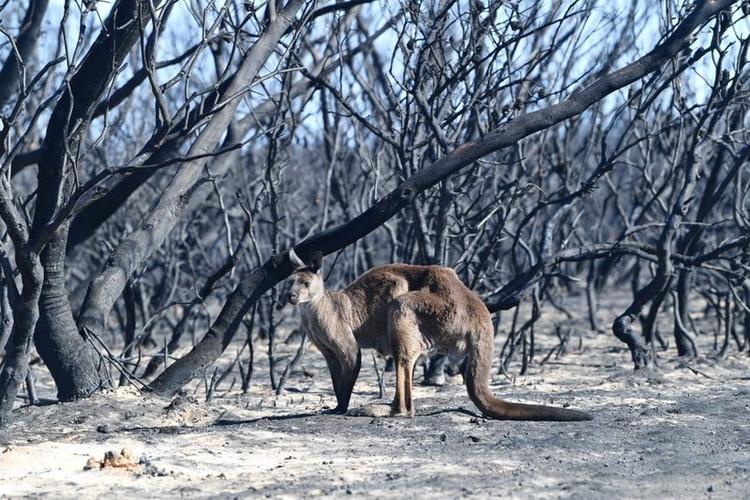 Un canguro herido en el Flinders Chase National Park, al sudoeste de Adelaida, en la Isla Canguro, una de las más afectadas por los incendios en Australia (Reuters)