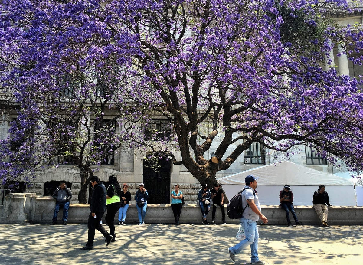 Florecen los jacarandás y la ciudad de Buenos Aires se tiñe de lila - infobae