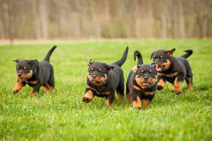 El rottweiler es más buscado en 13 lugares de África (Foto: Shutterstock)