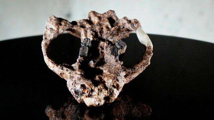 Piezas del tesoro fósil hallado en EEUU (HHMI TANGLED BANK STUDIOS)