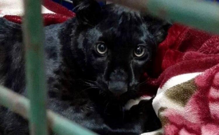 El felino fue capturado sin incidentes (Foto: Reuters)