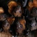 Foto de archivo ilustrativa de un grupo de murciélagos de cabeza gris en las afueras de Bangkok. Sep 10, 2009. REUTERS/Sukree Sukplang