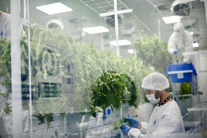 Laboratorio de una de las empresas autorizadas a trabajar en Uruguay (Gentileza Fotmer)