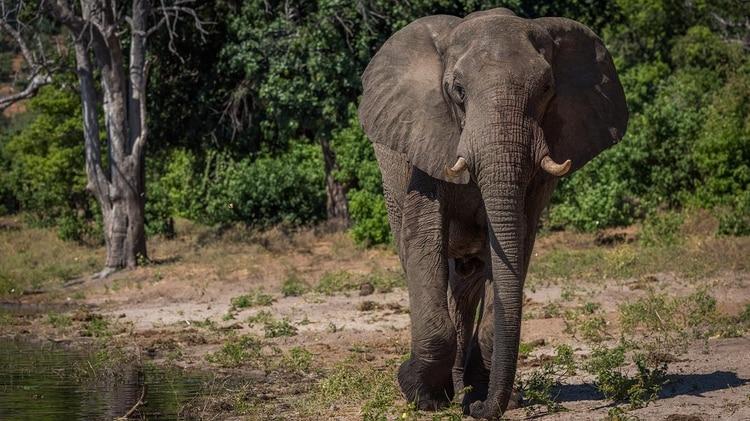 Un hombre iba a cazar un rinoceronte pero fue atacado por un elefante y luego devorado por una manada de leones