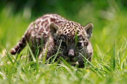 La fotografía muestra un jaguar nacido en el Zoológico Reino Animal de Otumba, en el Estado de México (Foto: EFE)