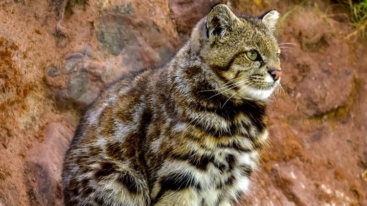 Según la UICN, hay menos de 10.000 ejemplares, con tendencia a disminuir (foto: Shutterstock)