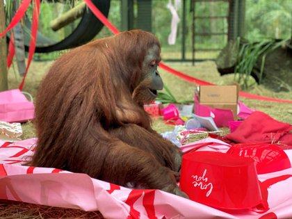 Sandra fue homenajeada por su cumpleaños y el Día de los Enamorados en el santuario de la Florida. (Foto: Center for Great Apes)