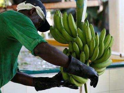 Foto de archivo. Un trabajador prepara bananas para exportación en un cultivo de Carepa, en el departamento de Antoquia, Colombia, 17 de marzo, 2017. REUTERS/Jaime Saldarriaga