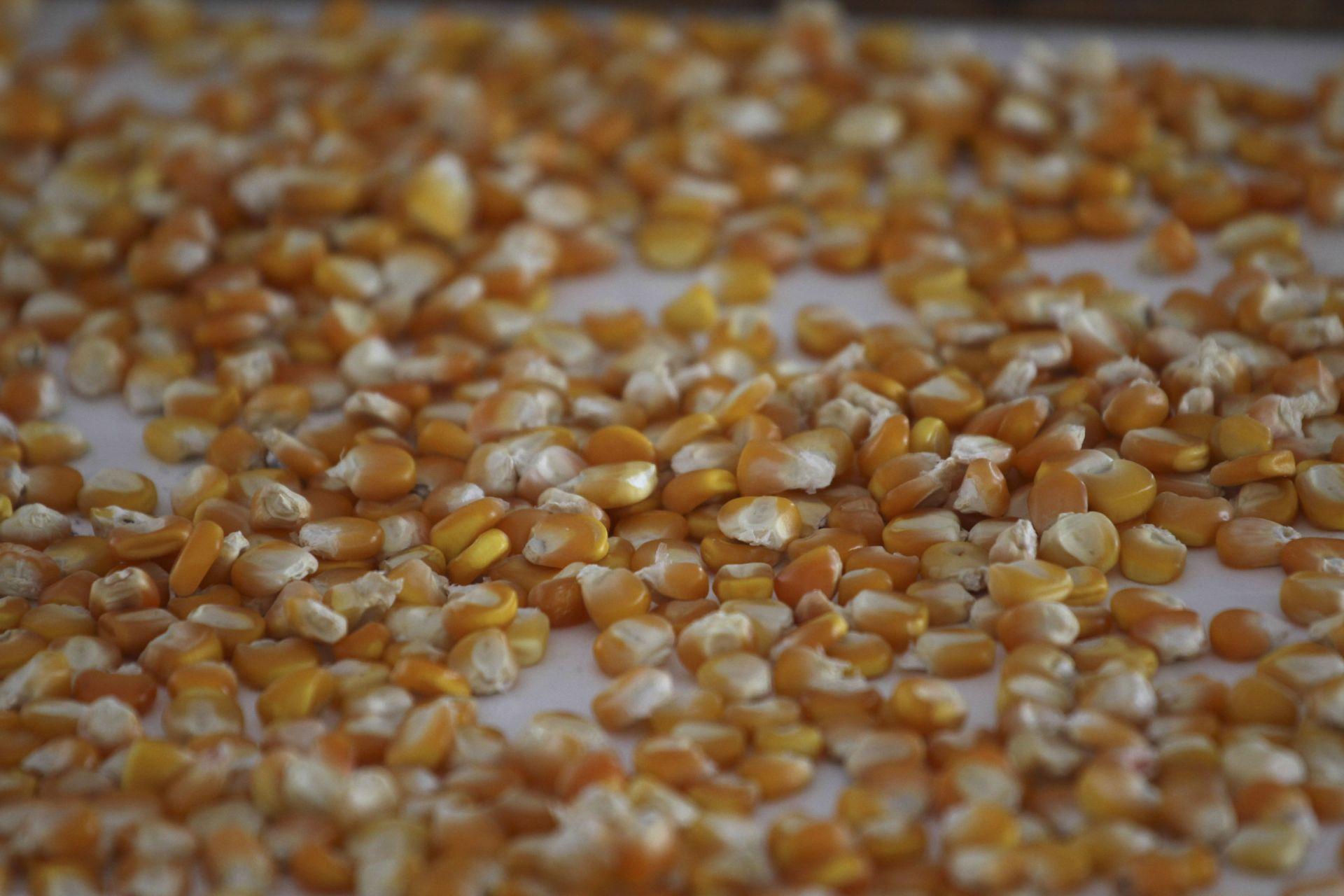 México-maíz transgénico