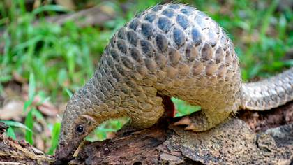 El pangolín sería el animal que permitió el pase del nuevo coronavirus de animales a humanos (AFP)