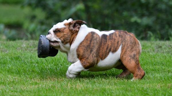 Los cachorros necesitan morder y morder pero es una parte necesaria para el desarrollo de sus dientes (Shutterstock)