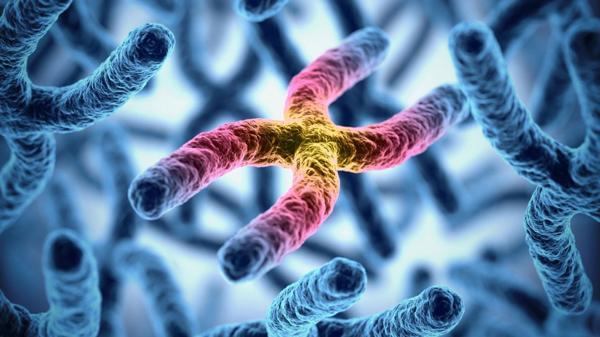 Los telómeros se ubican en los extremos de los cromosomas (Shutterstock)