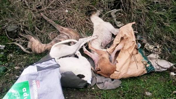 Torturados y asesinados: Ese es el lamentable final de los perros que perdieron alguna competencia que premiaba a sus dueños con una importante suma de dinero.