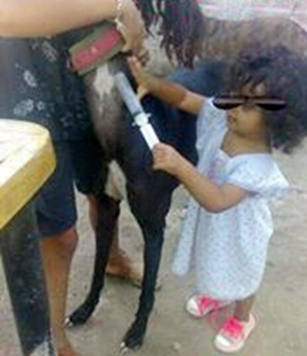 """Desde la cuna: Es habitual que las familias """"galgueras"""" aprendan desde pequeños los hábitos y costumbres para explotar a sus perros. Una niña pequeña inyecta anabólicos a un galgo ."""