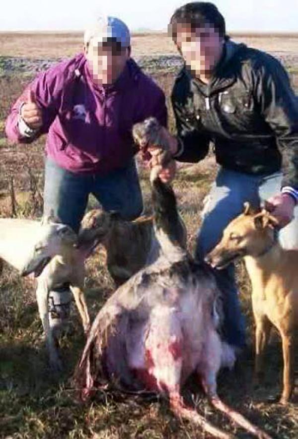 La caza: Muchos de los galgos son utilizados para atrapar presas luego de recibir un disparo. En la provincia de Buenos Aires existe la Ley N° 12.449 prohíbe el uso de perros tanto para carreras como para la caza de otros animales (Decreto-Ley 10.081/83, artículo 273).