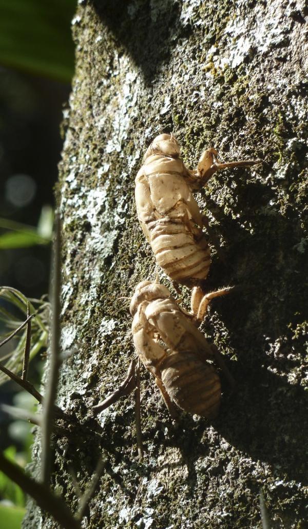 Larvas de cigarras (coyuyo) en la corteza de un árbol (foto: R.Peiró)
