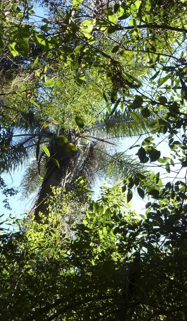 La palmera pindó, rodeada de monte tupido (R.Peiró)