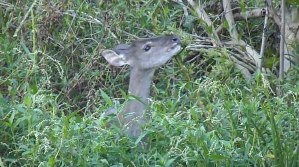 El guazuncho (o corzuela), otra especie presente en Los Chaguares