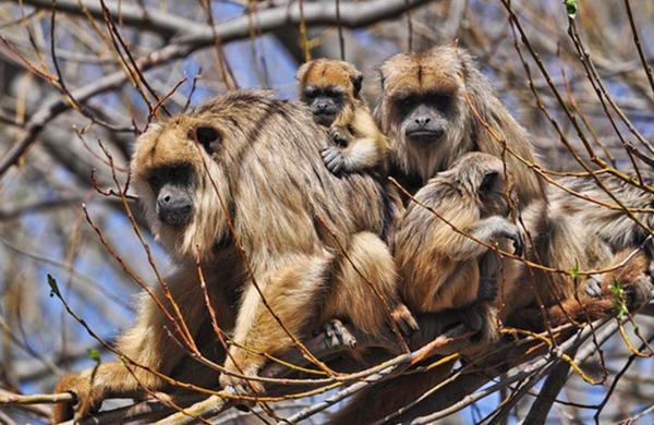 El mono carayá (o aullador), una de las especies presentes en la reserva