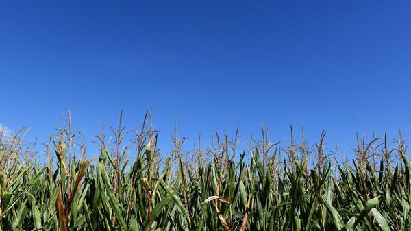 Monsanto es el líder mundial de los herbicidas e ingeniería genética de semillas (AFP)