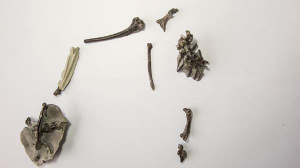 Los restos fósiles encontrados del Vegavis Iaai