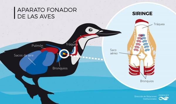 La siringe es el principal órgano fonador de las aves