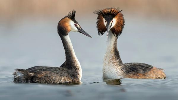 El Vegavis Iaai poseía características casi idénticas a las de los patos actuales (Fotonatura.org José Pesquero Gómez)