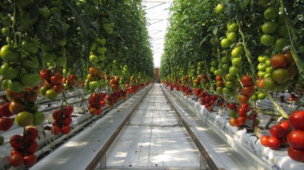 Los tomates no necesitan suelo para crecer, sino que se cultivan en cáscaras de coco. (Sundrop)