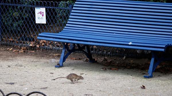 Las ratas han invadido las calles y los parques parisinos (AP)