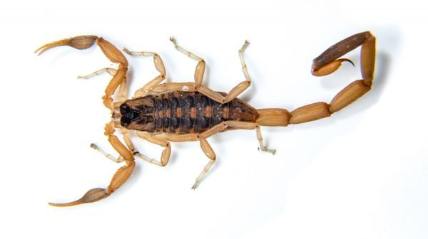 La especie Tityus Trivittatus de alacrán es la más peligrosa (iStock)